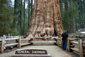 worlds largest tree
